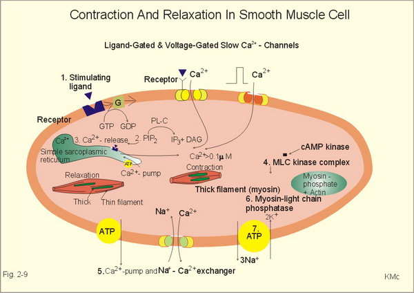 phisioexthe effect of stimulus voltage on skeletal muscle contraction Overview of skeletal muscle contraction skeletal muscle fibers  a effects of  stimulus strength on tension generation in whole muscle 1 go to the  display  the voltage for the electric stimulus applied to the muscle (fig 910) the lower.